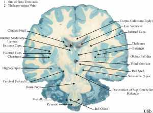 Brain slices anatomy
